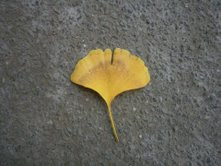 Gingko Glory